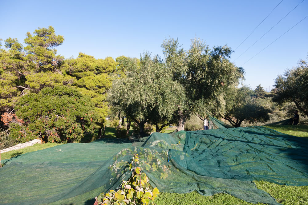 farm activities olive trees products ampelwnas